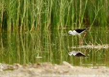 Black-winged Stilt and reflection Royalty Free Stock Images
