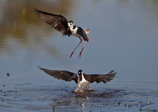 Black-winged Stilt's dance Stock Images