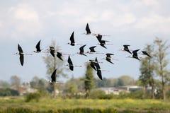 Black winged stilt Stock Photos