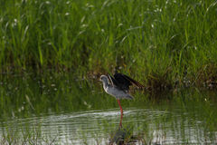 Black winged stilt in search for food Stock Photography