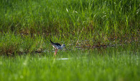 Black winged stilt in search for food. A Black winged stilt in a paddy field stock photos