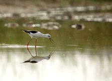 Black-winged Stilt searching food Stock Images