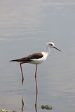 Black Winged Stilt Stock Images