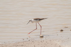 Black winged Stilt series 04 Royalty Free Stock Photos
