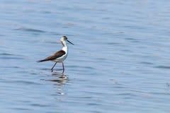 Black-Winged Stilt in Shallow Water Himantopus himantopus Wader Bird Stilt. Wildlife royalty free stock photo