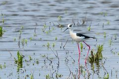 Black-Winged Stilt in Shallow Water Himantopus himantopus Wader Bird Stilt. Wildlife stock images
