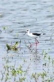 Black-Winged Stilt in Shallow Water Himantopus himantopus Wader Bird Stilt. Wildlife stock photos