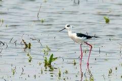 Black-Winged Stilt in Shallow Water Himantopus himantopus Wader Bird Stilt. Wildlife stock photography