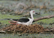 Black-winged Stilt sitting on the nest Royalty Free Stock Image