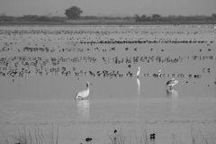 Black winged stilt and small ducks, Nalsarovar, India. Stock Photography