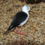 Black Winged Stilt Royalty Free Stock Image