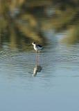 Black-winged Stilt standing in water Stock Photos