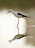 Black-winged Stilt stretching its body Stock Images