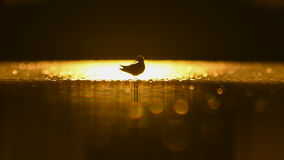 Black-winged stilt at sunrise. Beautiful sunrise on a lake with Mute Bird in silhouette Stock Photography