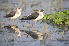 Black winged stilt Royalty Free Stock Photos