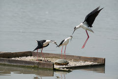 Black-winged stilt. To defend the nest from various intruders Stock Photo