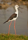 Black winged stilt walking Stock Photos