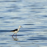 Black-winged stilt walking in water, Serengeti Royalty Free Stock Photo