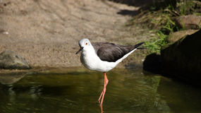 Black winged stilt in water Royalty Free Stock Photos