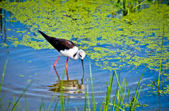 Black-winged stilt. Were Waterfowl Stock Photo