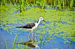 Black-winged stilt. Were Waterfowl Royalty Free Stock Image