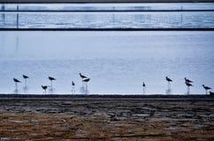 Black-winged stilt. Were Waterfowl Stock Photos