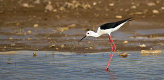 Black-winged Stilt & Worm. A black-winged stilt is catching a worm as food Stock Photos