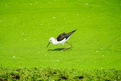 Black winged stilt in the zoo stock photo