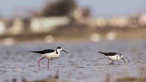 Black-winged Stilts Feeding. Black-winged stilts Himantopus himantopus are feeding  in shallow waters Stock Photos