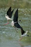Black-winged Stilts fighting Stock Photography