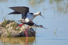 Black-winged Stilts Mating - Himantopus himantopus, Mallorca. Black-winged Stilts - Himantopus himantopus, the birds with long pink legs, mating on a Mallorcan royalty free stock photography