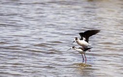 Black-winged Stilts Mating Royalty Free Stock Photography