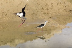 Black Winged Stilts Stock Images