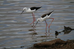 Black winged Stilts. These water birds called Black Winged Stilts looking for something to eat at a dam stock image