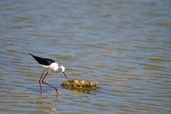 A Black Wingesd Stilt Stands Guarding Eggs In Her Nest Stock Image