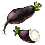 Black winter radish with slices isolated, watercolor illustration on white Royalty Free Stock Photo