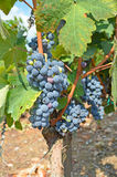 Black winw grape ripe Stock Photography