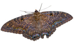 Black Witch moth isolated royalty free stock image