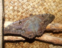 Black Witch Moth at Kauai, Hawaii Stock Photos