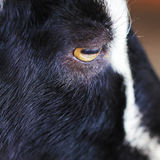 Black and wite goat animal portrait close up royalty free stock photo