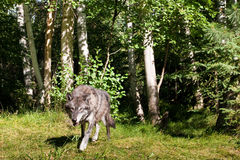 Black Wolf. Adult Black Wolf Stalking in Forested Setting Royalty Free Stock Image