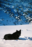 Black wolf. Black wild wolf on romanian carpatians - Bucegi stock image