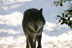 Black wolf. Walking towards the photographers position in a snowy landscape stock photos