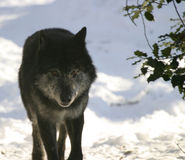 Black wolf. In the canadian winter staring at the camera royalty free stock photos