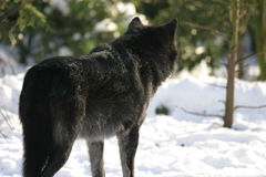 Black wolf. Black canadian wolf looking for some pray in a snowy forest stock image