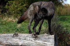 Black wolf balancing on a log Stock Image