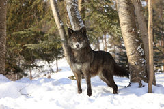 Black Wolf Beautiful Eyes Royalty Free Stock Photography