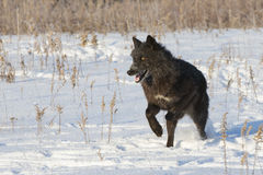 Black wolf with bright eyes