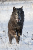 Black wolf with bright eyes. Black tiber wolf with bright eyes running through snow Royalty Free Stock Photos