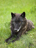 Black wolf Canis Lupus green grass Royalty Free Stock Image